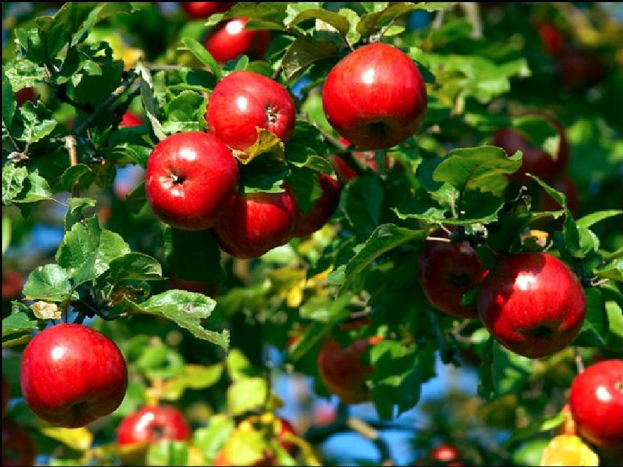 Лечим яблони