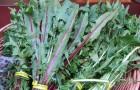 Листья одуванчиков