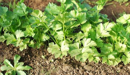 Можно использовать для выгонки мелкие и средние корнеплоды петрушки или нужны только крупные