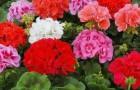 Можно ли пеларгонию зональную размножить семенами?