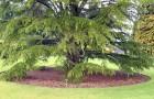 Мульчирование одиночного растения