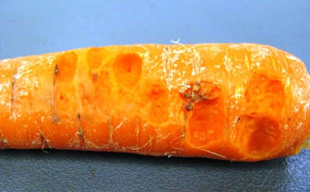 Мягкая бактериальная гниль моркови