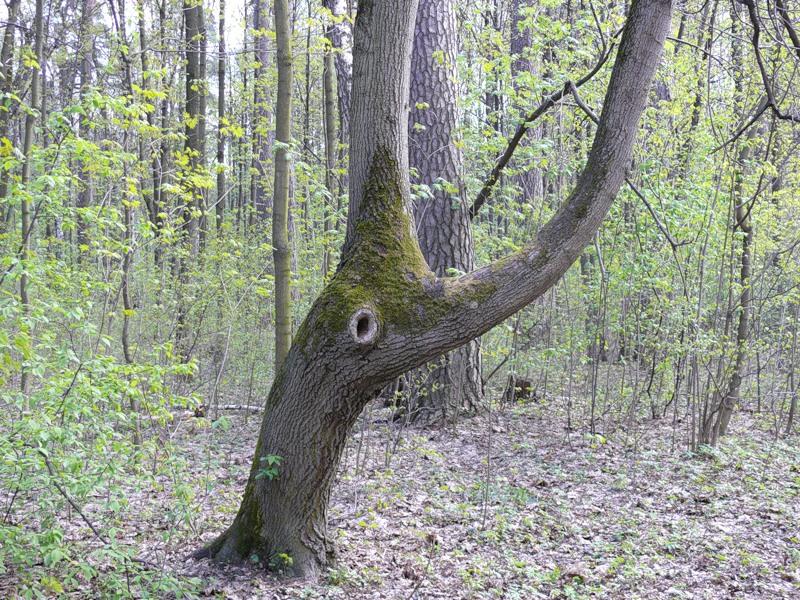На старом дереве появилось дупло. Как и в какое время можно залечить дерево?