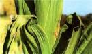 Начали отмирать листья гладиолуса