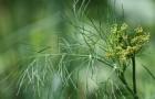Надо ли перед посевом замачивать семена укропа?