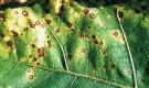 Вирозы баклажана