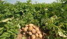 Окучивание овощей