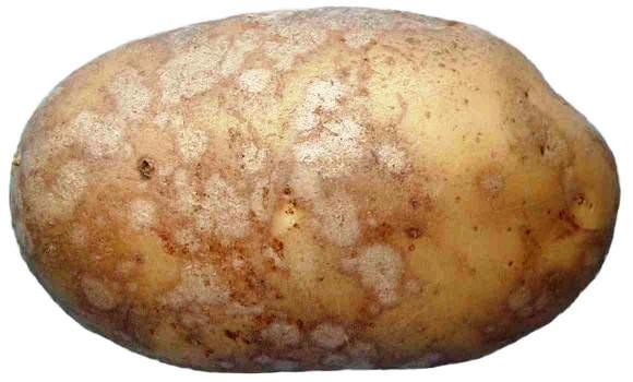 обыкновенная парша картофеля фото