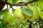 Пересадка взрослых яблонь