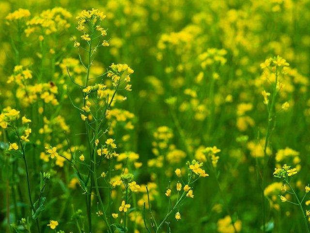Петрушка огородная