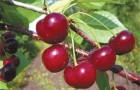 Почему мало плодов на вишне?