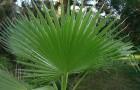 Почему пальму назвали «вашингтония»?