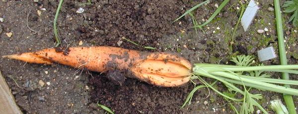 Почему растрескалась морковь?