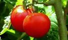 Почему томаты растрескались?
