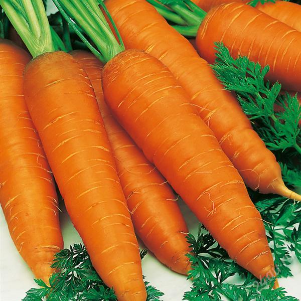 Подзимние посевы сортов моркови