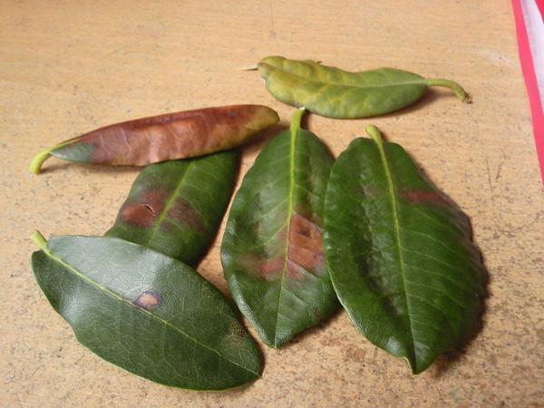 Пожелтели листья рододендрона