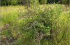 Растение с корневой порослью