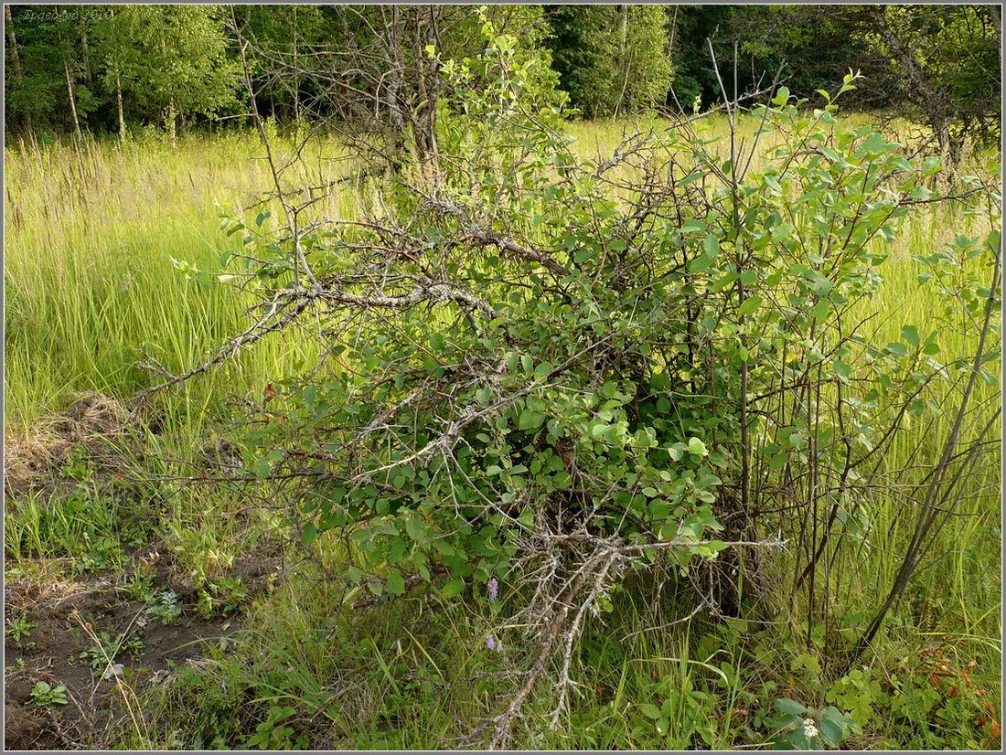 Корневая поросль у карликовых сортов деревьев