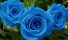 Если саженцы роз подсохли…