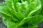 Салат кочанный