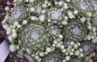 Семпервивум арахноидеум