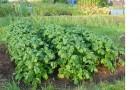 Скашивание ботвы картофеля