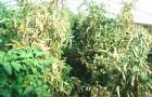 Столбур томата