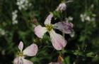 Цветение редиса