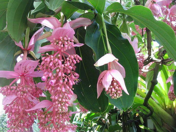 Цветки мединиллы