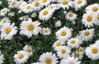 Цветки ромашки