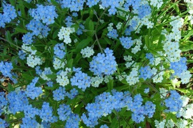 Цветок «Жених и невеста». Как за ним следует ухаживать?