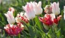 Подкармливание тюльпанов