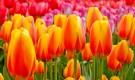 Подкармливание тюльпанов золой