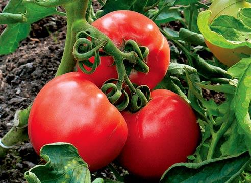 В какие сроки и какими удобрениями нужно подкармливают томаты?