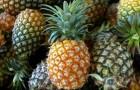 В каких условиях содержат ананас?