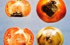 Вершинная гниль томата