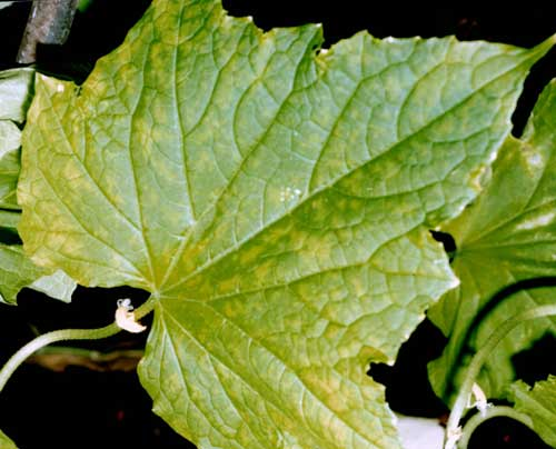 Вирусные болезни растений