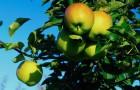 Восстанавливаем яблоню
