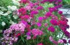 Вянут бутоны гвоздики садовой