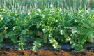 Выращивать ли овощи на одной органике?