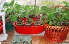 Выращивание рассады на окнах