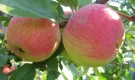 Яблони на сыром участке