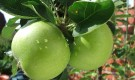 Когда яблоки и груши можно снимать с дерева?