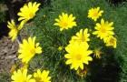 Желтый кореопсис мутовчатый