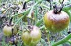 Зеленовато-бурые пятна на листьях томата