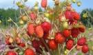 Сколько лет можно выращивать на одном месте землянику?