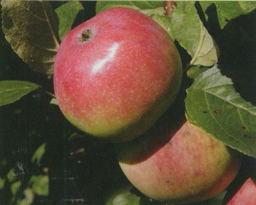 Сорт яблони: Анис алый (Анис бархатный, Анис сафьянный, Анис красный)