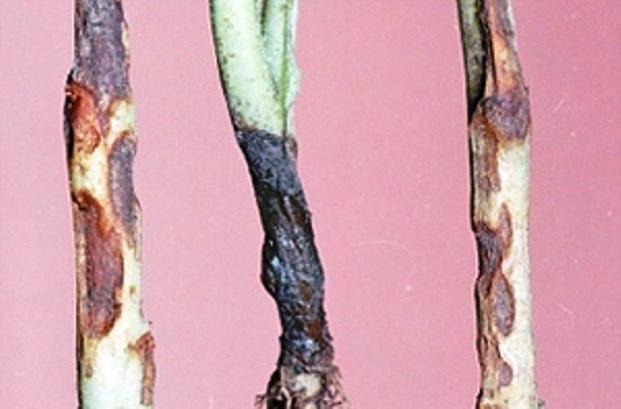 Чёрная ножка капусты