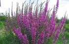 Дербенник иволистный, или плакун-трава
