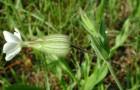Дрема белая